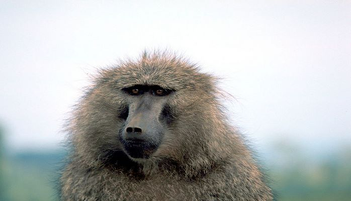 Primat
