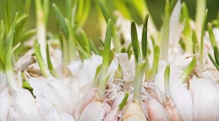 Cücərmiş sarımsaqların inanılmaz faydası aşkarlandı