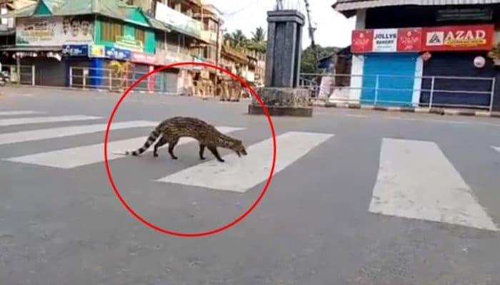Koronavirüs nedeniyle sokağa çıkma yasağının uygulandığı Hindistan'da 1990'dan bu yana gözükmeyen Misk kedisi ortaya çıktı