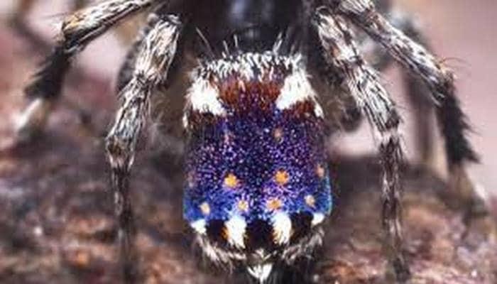 Yeni keşfedilen minik örümcek Vincent van Gogh'un Yıldızlı Gecesi'ne benziyor