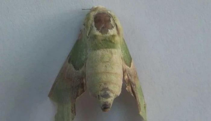 Bu kelebeği görenler inanamıyor! Sırtında insan sureti var