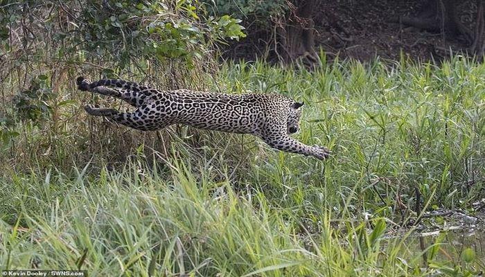 Смертоносная схватка аллигатора и ягуара