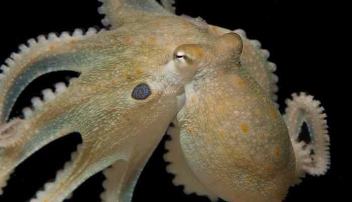 Экстази повысило социальность осьминогов