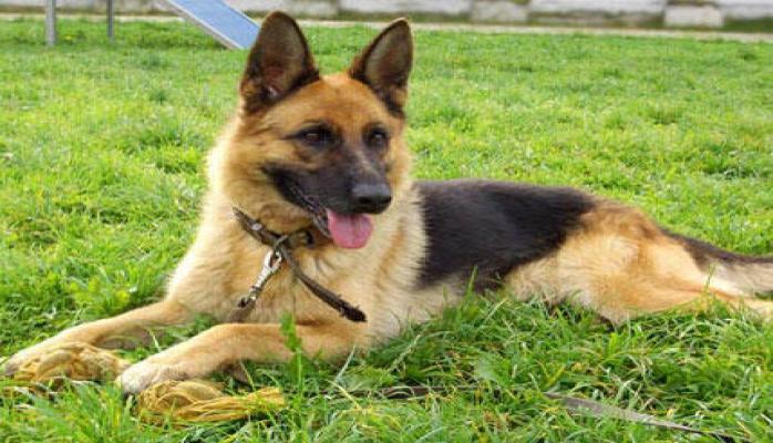 Клонированная полицейская собака заступила на службу