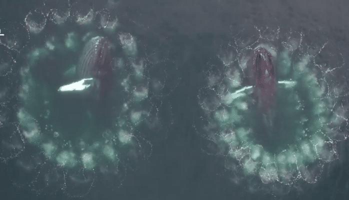 Как киты охотятся с пузырьковыми сетями: