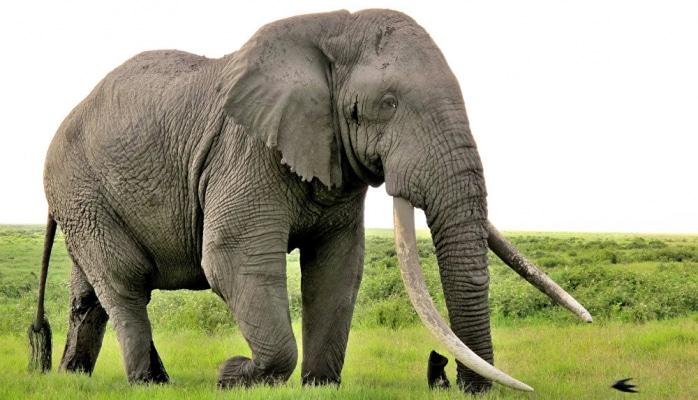 Fil turistlərin gözü qarşısında ərazisinə gələn begemota dərs verdi